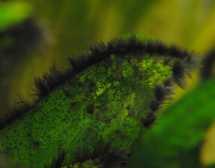 جلبک پرز مانند سیاه