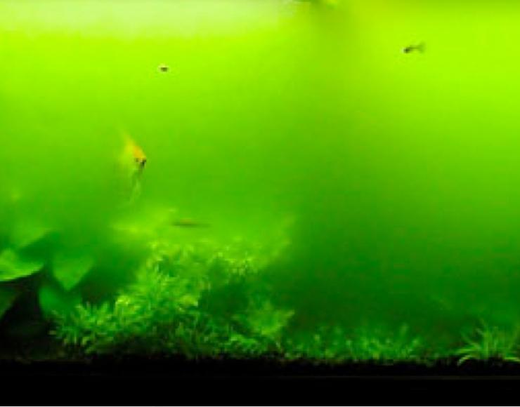 سبز شدن آب: